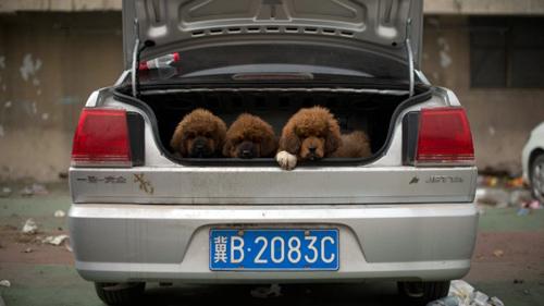 hongkong-pup-smuggle1.jpg